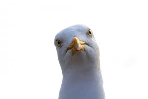 Seagulls – Egg and nest removal | Angus Council